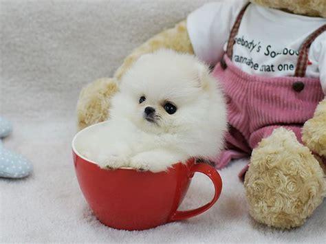 panda pomeranian panda teacup pomeranian teacups teacup pomeranian for sale