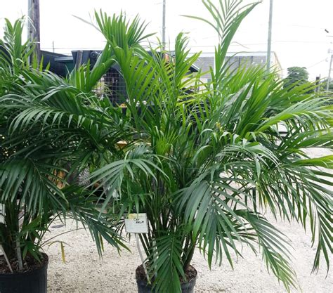 cateracterum palm no worries property maintenance cat palm