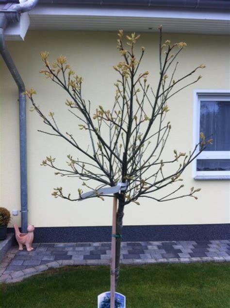 Kleine B Ume F R Den Vorgarten 5917 by Baum F 252 R Kleinen Garten Hausb Ume Im Garten Arten Und