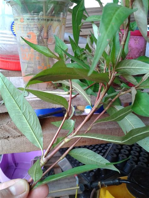 menanam daun kesum  perawatannya  mudah