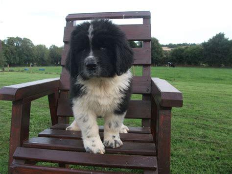 st bernard mix puppies for sale bernard puppies bernard puppy for sale in the uk breeds picture