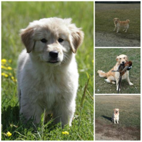 started golden retrievers for sale started gun started retriever wisconsin