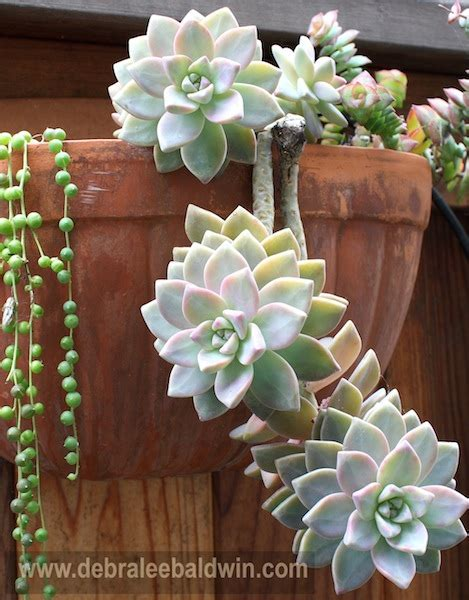 why i love ghost plant graptopetalum paraguayense
