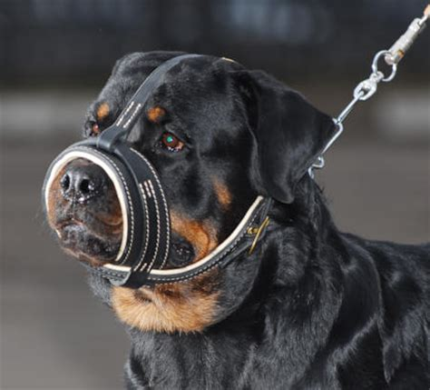 how should i walk my rottweiler leather royal nappa muzzle for rottweiler m88 1060 rottie nappa leather muzzle