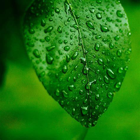 Gambar Dan Teh Hijau bagian tumbuhan berwarna hijau tipis dan lebar berfungsi untuk sahabat belajar sd
