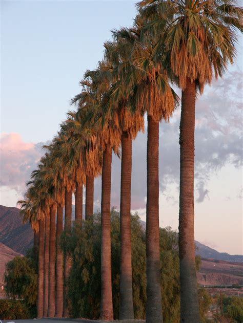 California Palm palm trees california california