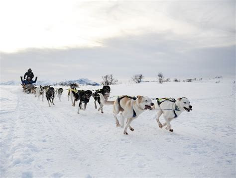 how much are husky puppies worth 10 best places for sledding husky sledding safari