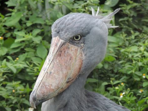 Create A Picture Collage Online shoebill info photo 2