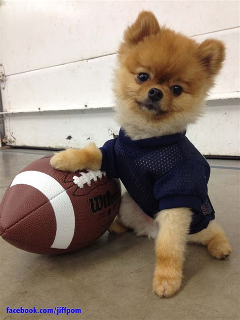 jiff pomeranian jiff the pom is ready for the big
