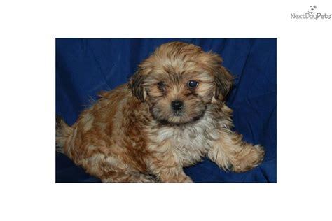 shih tzu golden retriever mix puppy golden retriever mixed with shih tzu bichon shih tzus breeds picture