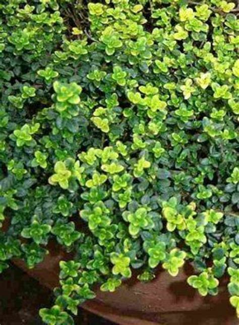 17 best ideas about ground cover plants on pinterest