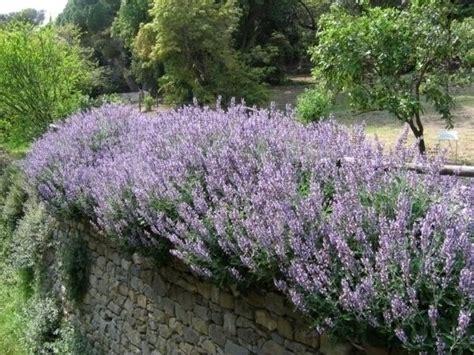 cespuglio fiorito potatura salvia tecniche di giardinaggio come potare
