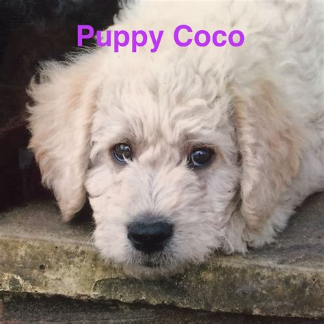 doodle signs surrey best dogs for and companionship farnham sy