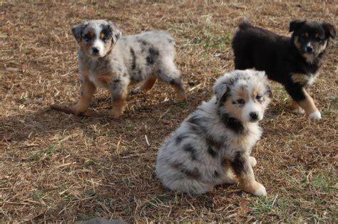 free australian shepherd puppies australian shepherd puppies for free 7 wide wallpaper dogbreedswallpapers