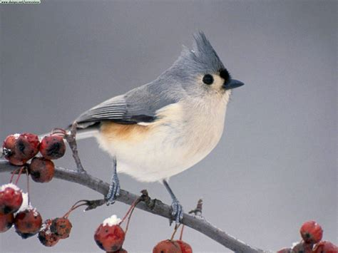 tufted titmouse birds juxtapost