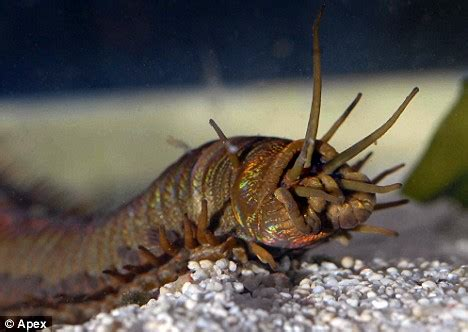 worm killer barry the sea worm discovered by aquarium staff after mysterious attacks on coral reef