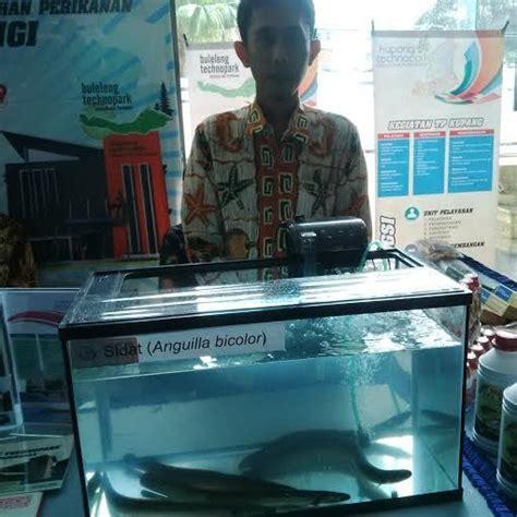 Jual Belut Ekspor mirip ular ikan sidat laku rp 2 juta kg di jepang