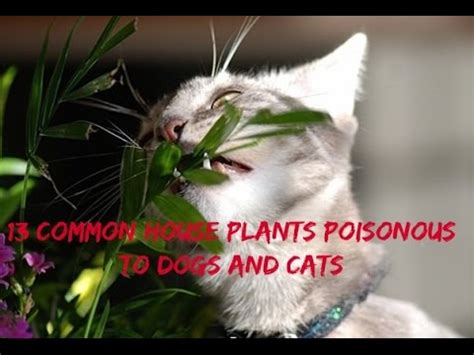 common house dogs list of poisonous plants mashpedia free video encyclopedia