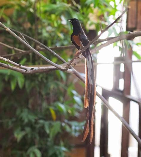 gambar burung murai medan gambar burung murai batu medan ekor panjang gambar burung