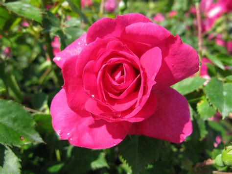 www rose a rose by any other name landscape ontario com green for
