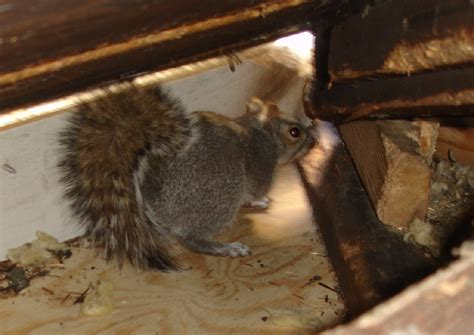 how to get rid of squirrels in the backyard how to get rid of squirrels from your attic