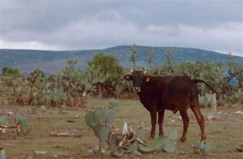 imagenes de vacas vaqueras imagen vacas vaqueras 2 recortada grupos emagister com