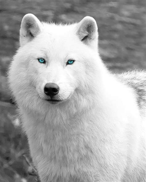 5 11 Black Wolf Blue 16010 25 best ideas about white wolves on wolf