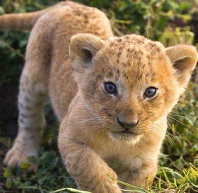 imagenes de leones reales para imprimir 100 ideas dibujos de animales reales para imprimir on