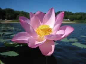 National Flower Lotus National Flower Of India Lotus Travel India