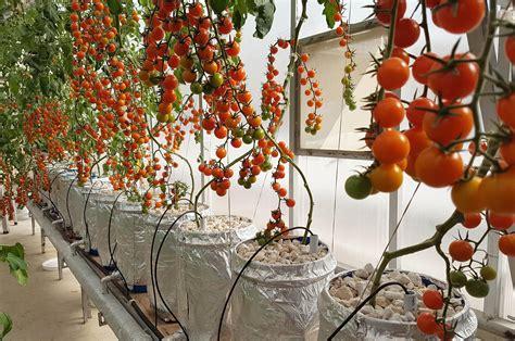 sweet cherry tomatoes  hydroponic dutch bucket system