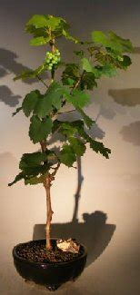 Cabernet Grapevine Bonsai It Or It by Wine Grape Bonsai Treechardonnay
