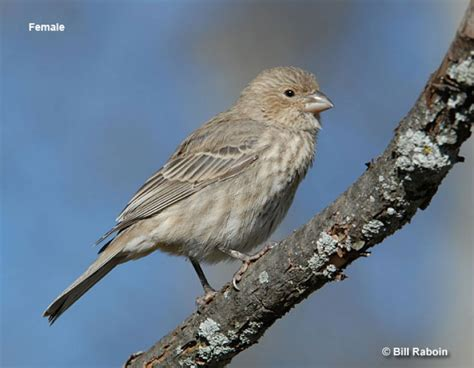 house finch scientific name house finch