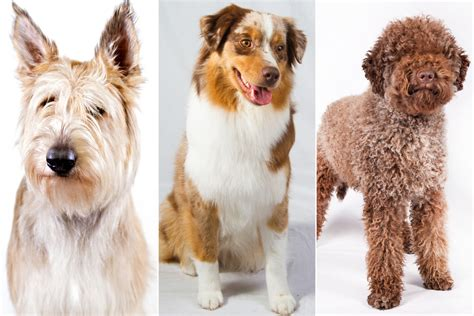 american kennel club dog breeds three new dog breeds join the american kennel club new