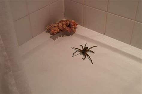 big spider in bathroom huge spider gives homeowner a fright and sparks social