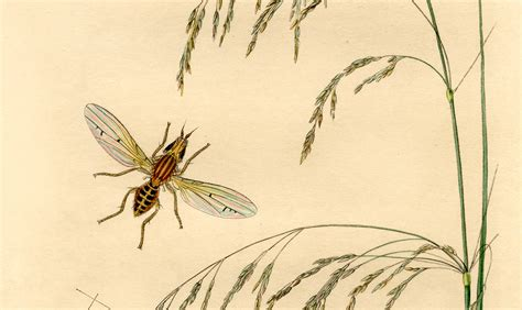antique botanical insect print  graphics fairy