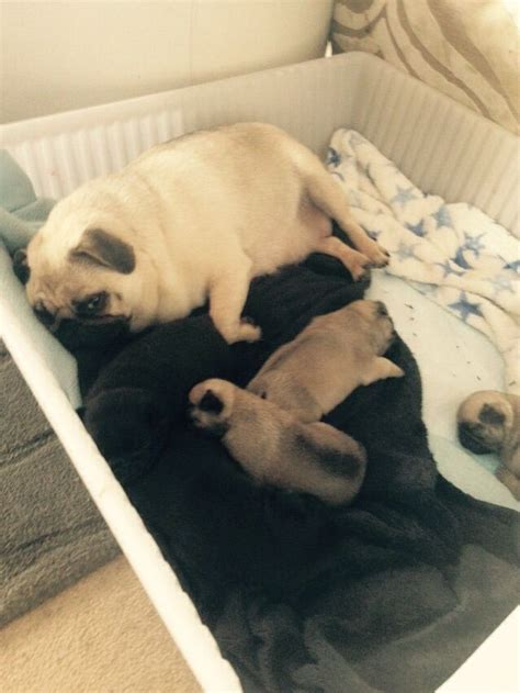 pug breeders glasgow kc pug puppies for sale glasgow lanarkshire pets4homes