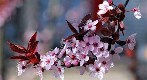 imagenes cerezo japones significado de la flor de cerezo significado de las flores