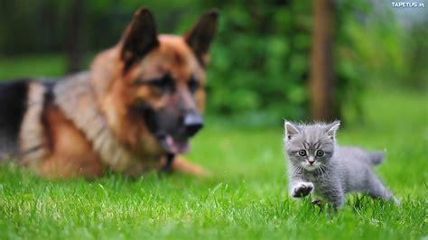 owczarek niemiecki kotek trawa