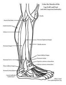coloring book for muscles muscles of the leg and foot coloring