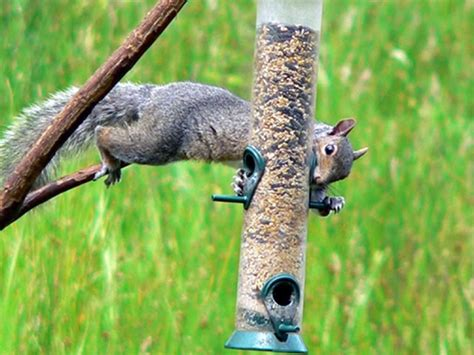 bird feeder battles winning the war against squirrels