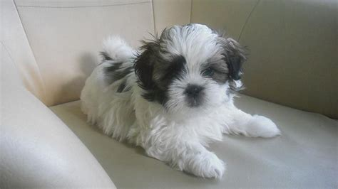 the cutest shih tzu in the world do you own the cutest in the world lifedaily