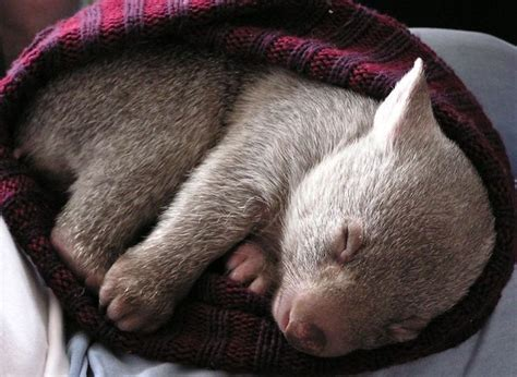 baby wombat i want to be a zookeeper