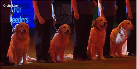 golden retriever society golden retriever pups perform the most amazing routines
