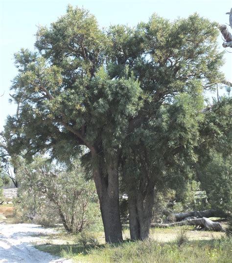 christmas tree nuytsia floribunda robert powell tree