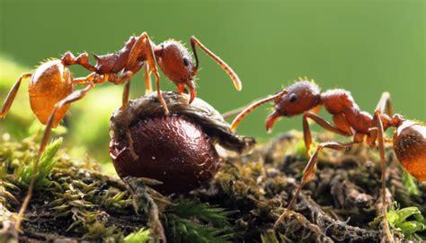 wallpaper semut hitam gambar semut merah hitam menakjubkan fotografi macro