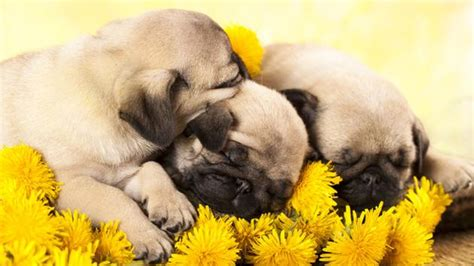 why pugs are the best dogs 10 reasons why pugs are the best dogs