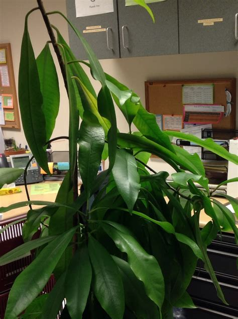 green house plant identification identification what is this large houseplant with long