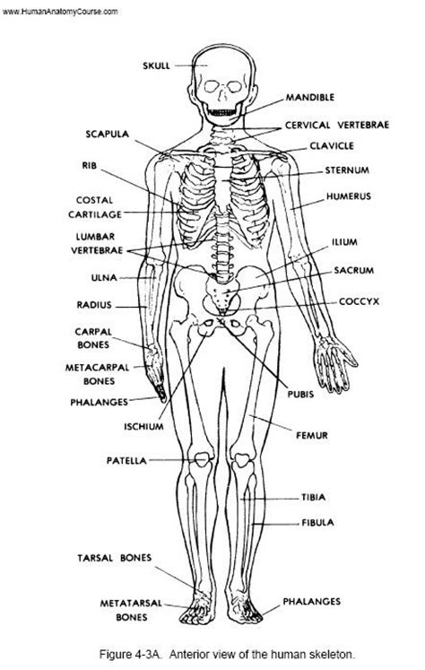 anatomy physiology coloring workbook chapter 11 cardiovascular system answer key anatomy image organs teriffic best 10 how to study for