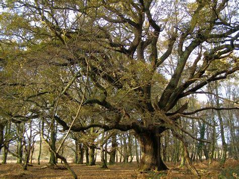 oak tree woodworking spreading oak tree in matley wood new 169 jim chion