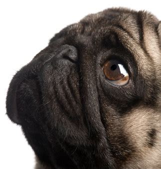 pet insurance for pugs pet insurance may be something to consider